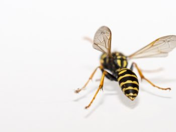 Treatment of Bee and Wasp Stings